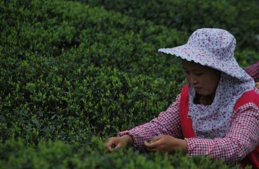 以茶谋增收致富打造新支柱产业