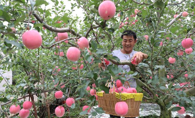 汉源县7万余亩苹果陆续上市