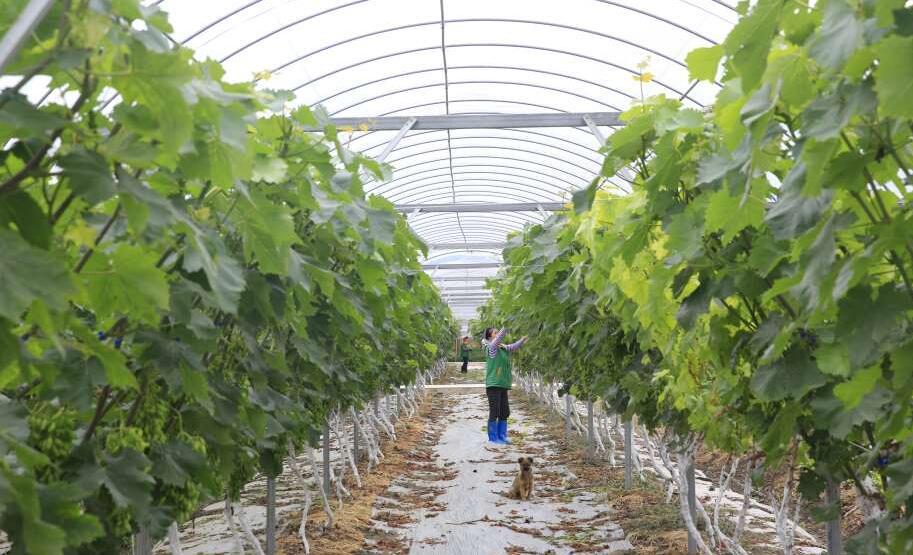 这个夏天  来芦山龙门吃葡萄