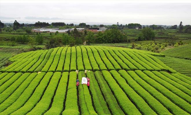 茶叶机采 能否助雅茶产业再上一层楼?