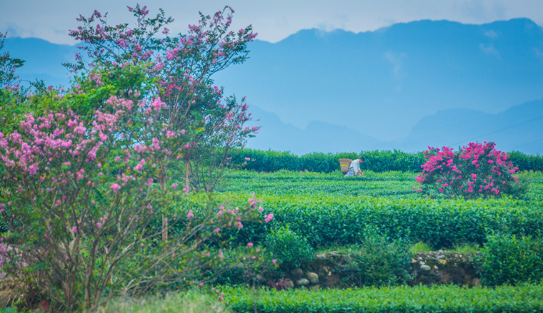 今年茶叶采摘渐近尾声