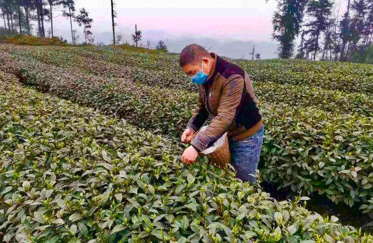 雨城区2020年春茶已开采