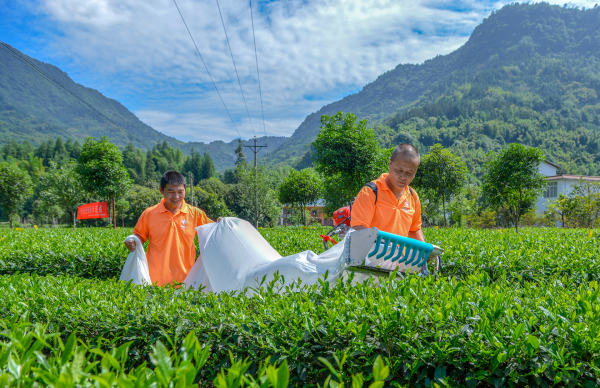 提效率  强服务  藏茶产业发展后劲足