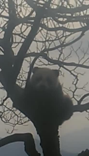 偶遇野生大熊猫晒太阳,村民用手机拍下呆萌一幕