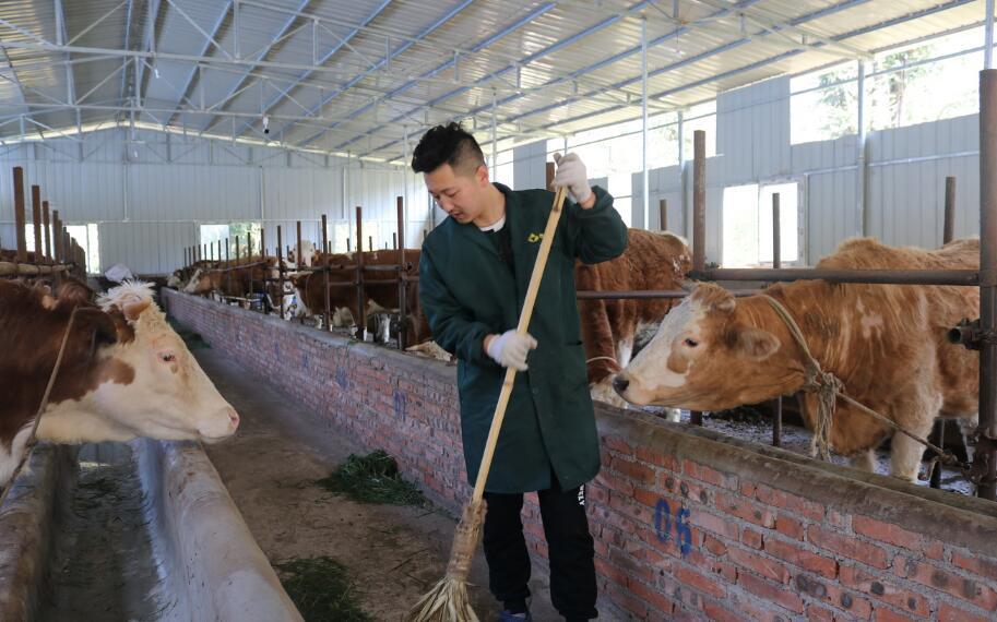 荥经韩亚男团队返乡创业养牛